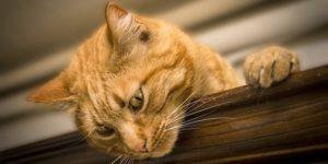 ANIMALES DOMÉSTICOS PARA COLOREAR » 8 Dibujos con información