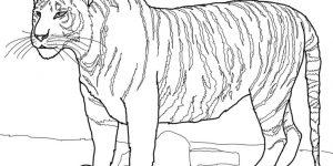 TIGRE » Pinta al felino más grande mientras aprendes de él
