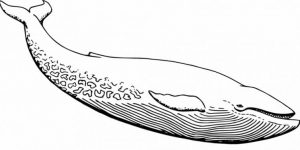 BALLENA » Datos del mamífero más grande e imágenes para colorear