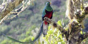 QUETZAL » Un ave pintoresca de los trópicos e imágenes para colorear