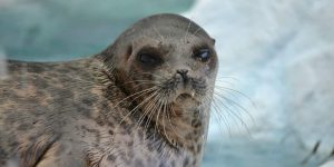 FOCA » Un mamífero que evolucionó para vivir en el agua