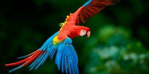 GUACAMAYO » El ave ruidosa y colorida de las selvas tropicales