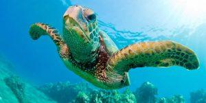 TORTUGA DE MAR » Vida del reptil acuático y dibujos para colorear