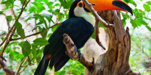 TUCÁN » La colorida ave de los biomas tropicales suramericanos