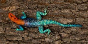 AGAMA ARCOÍRIS » Pinta y conoce a este colorido reptil