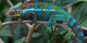 CAMALEÓN » Un curioso reptil que cambia los colores de su piel