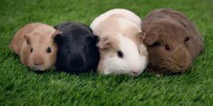 CUY » Conoce al simpático roedor doméstico con imágenes para colorear