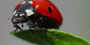 MARIQUITA » Pinta y conoce esta colorida especie de pequeños insectos