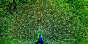 PAVO REAL » Una icónica y colorida ave con cola de abanico