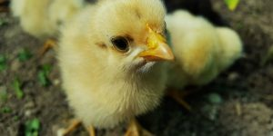 POLLITOS » Imágenes para colorear y cuidados de las pequeñas aves amarillas
