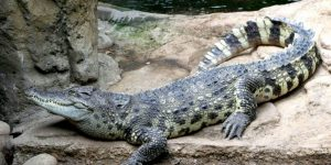 COCODRILO » El temible depredador acuático de los lagos y ríos