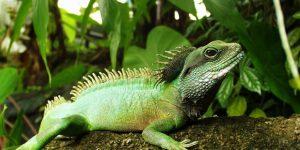 DRAGÓN DE AGUA » Conoce este curioso reptil de los biomas tropicales