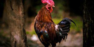 GALLO » Diviértete coloreando el ave de cresta roja y abundante plumaje