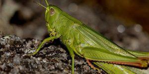 GRILLO » Un insecto muy colorido de los biomas tropicales