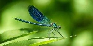 LIBÉLULA » Pinta y conoce la vida de este llamativo insecto