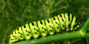 ORUGA DE COLORES » Un insecto muy colorido para pintar