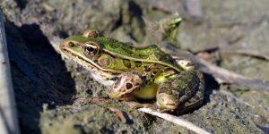 RANA LEOPARDO » Un anfibio de manchas oscuras de Norteamérica