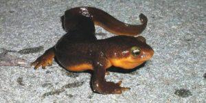 TRITÓN » El anfibio de cuerpo alargado y habilidad para camuflarse